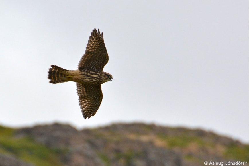 Smyrill – Merlin – Falco columbarius