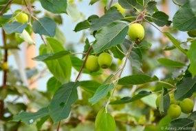 Epli – apples