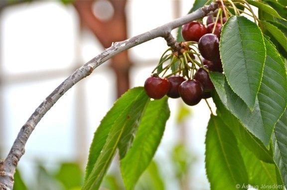 Kirsuber – cherries