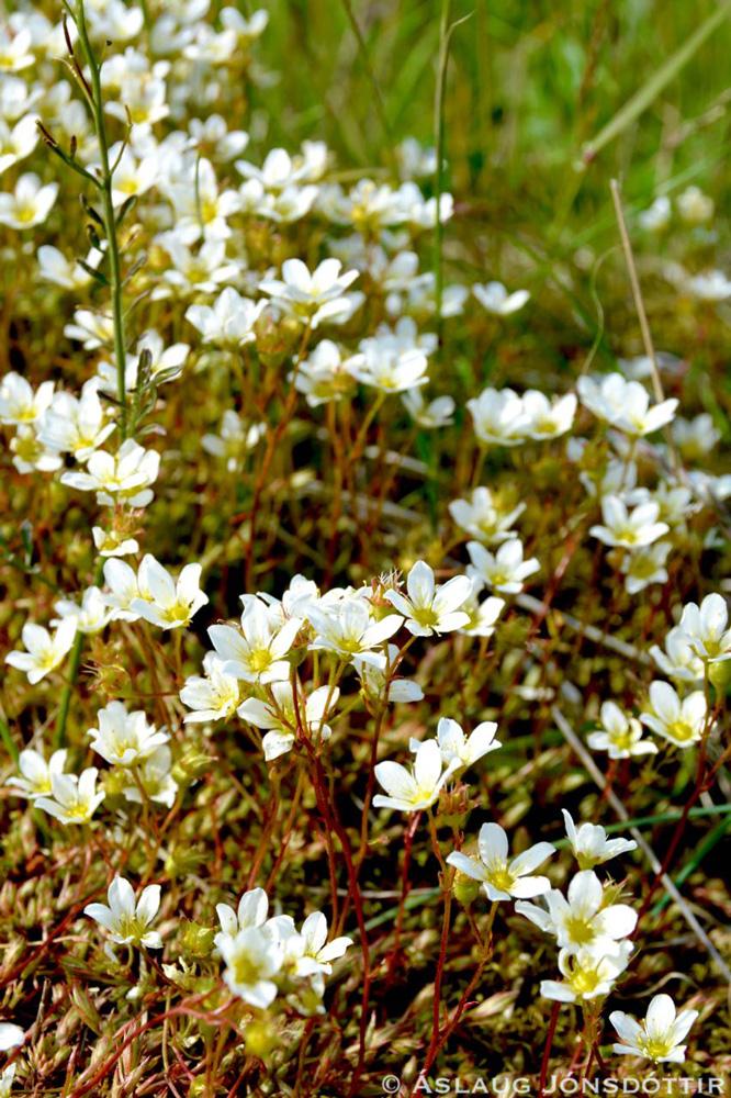 Mosasteinbrjótur-050716©AslaugJ