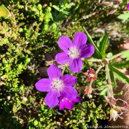Blágresi (Geranium sylvaticum)